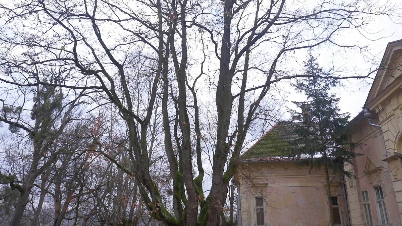Az óriástölgy a kastély mögött